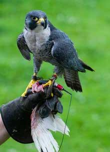 Peregrine Falcon (Falco-Peregrinus) In Training