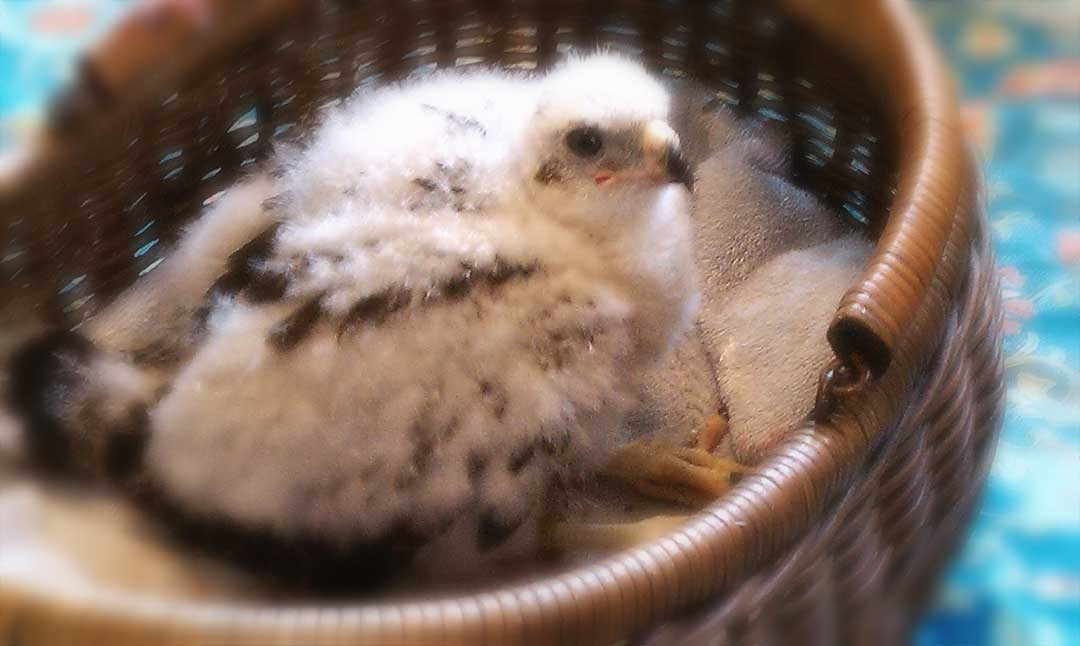 Ten Day Old Eyas Goshawk