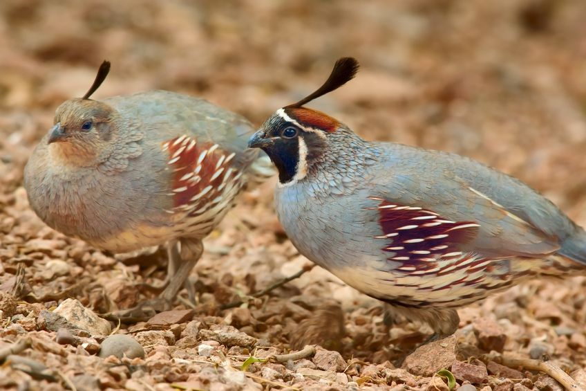 Male Gambel's Courting Female