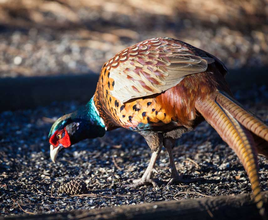 Adult Ring-Necked Pheasant