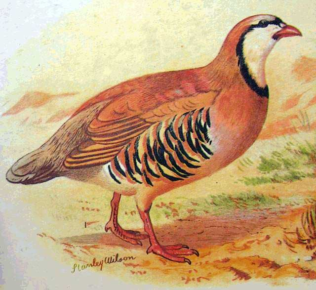 Alectoris Chukar (Painted)