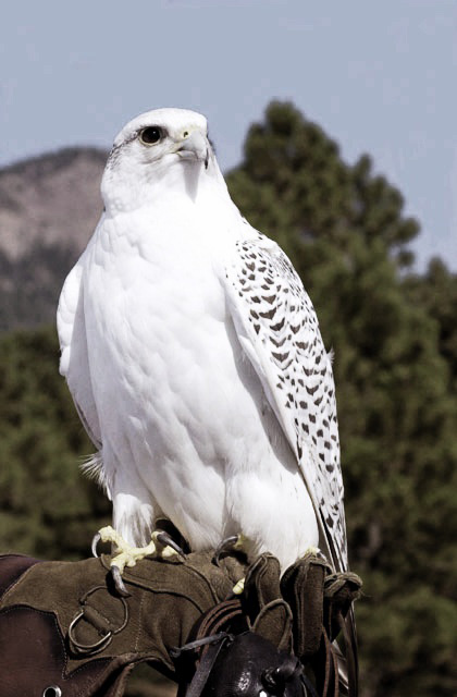 Bird Falcon Mascot Aurora