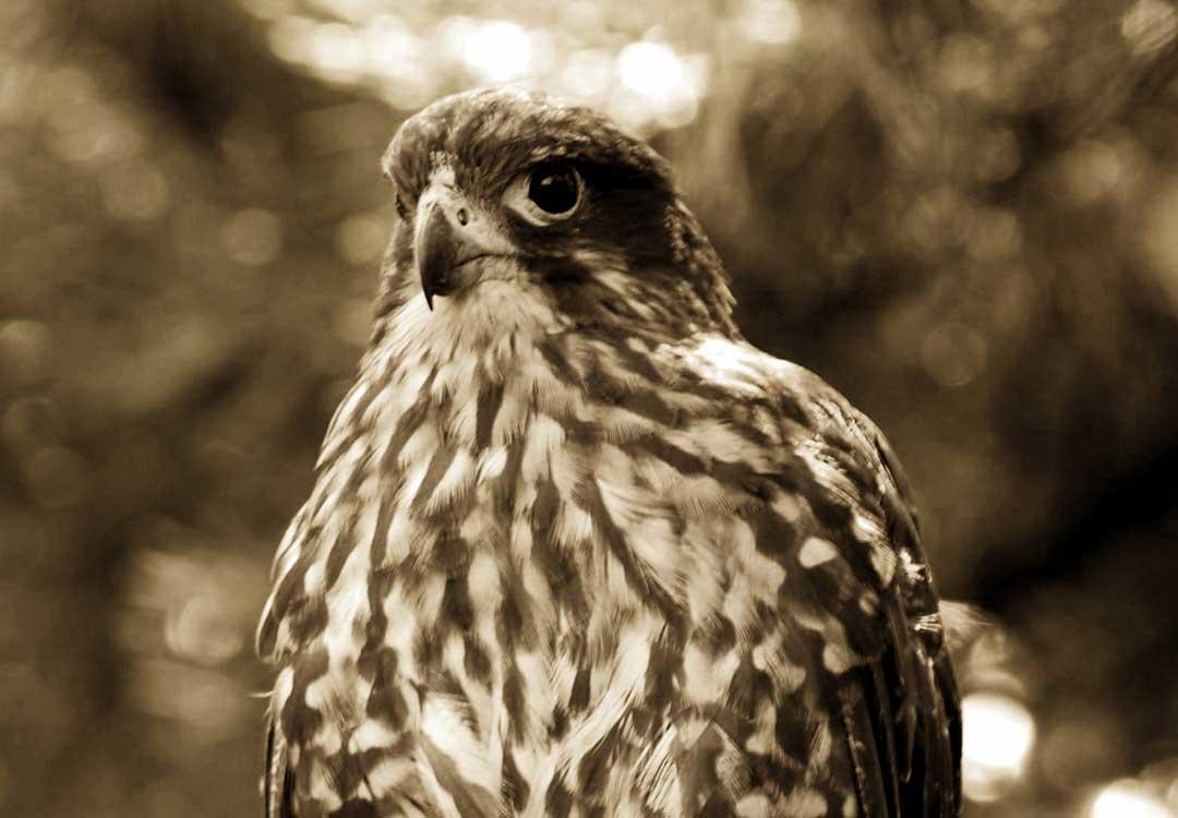 A Falcon Bird