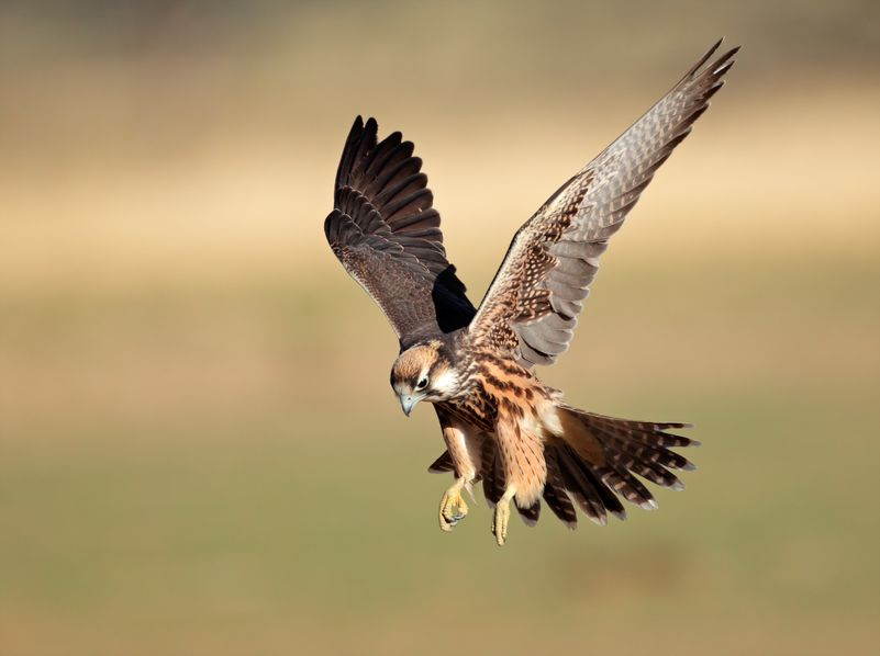 A Lanner Falcon
