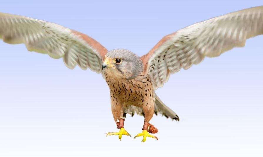 Young Peregrine Falcon